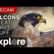 Great Spirit Bluff Falcons powered by EXPLORE.org