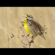 Eastern Meadowlark Portait