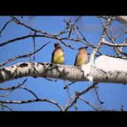 Cedar Waxwing Berry Share
