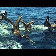 Earthflight - High-speed Brown Pelicans Diving for Sardine & Anchovies (Narrated by David Tennant)