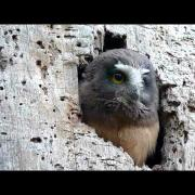 Northern Saw-whet Owl chicks, Point Lobos, Caliofrnia