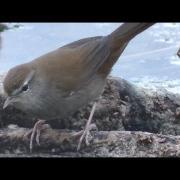 Cetia ruiseñor (Cettia cetti) Cetti's Warbler