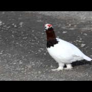 Call of the Willow Ptarmigan