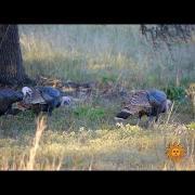 Nature: Wild Turkeys