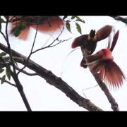 Red Bird-of-Paradise