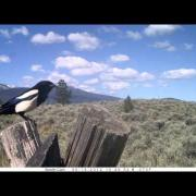 MPG Ranch: Black-billed Magpie