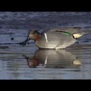 Green-winged Teal foraging in shallow water