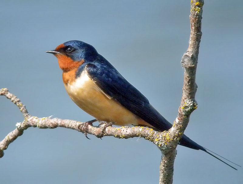 Barn Swallow, Natural Pest Control | BirdNote