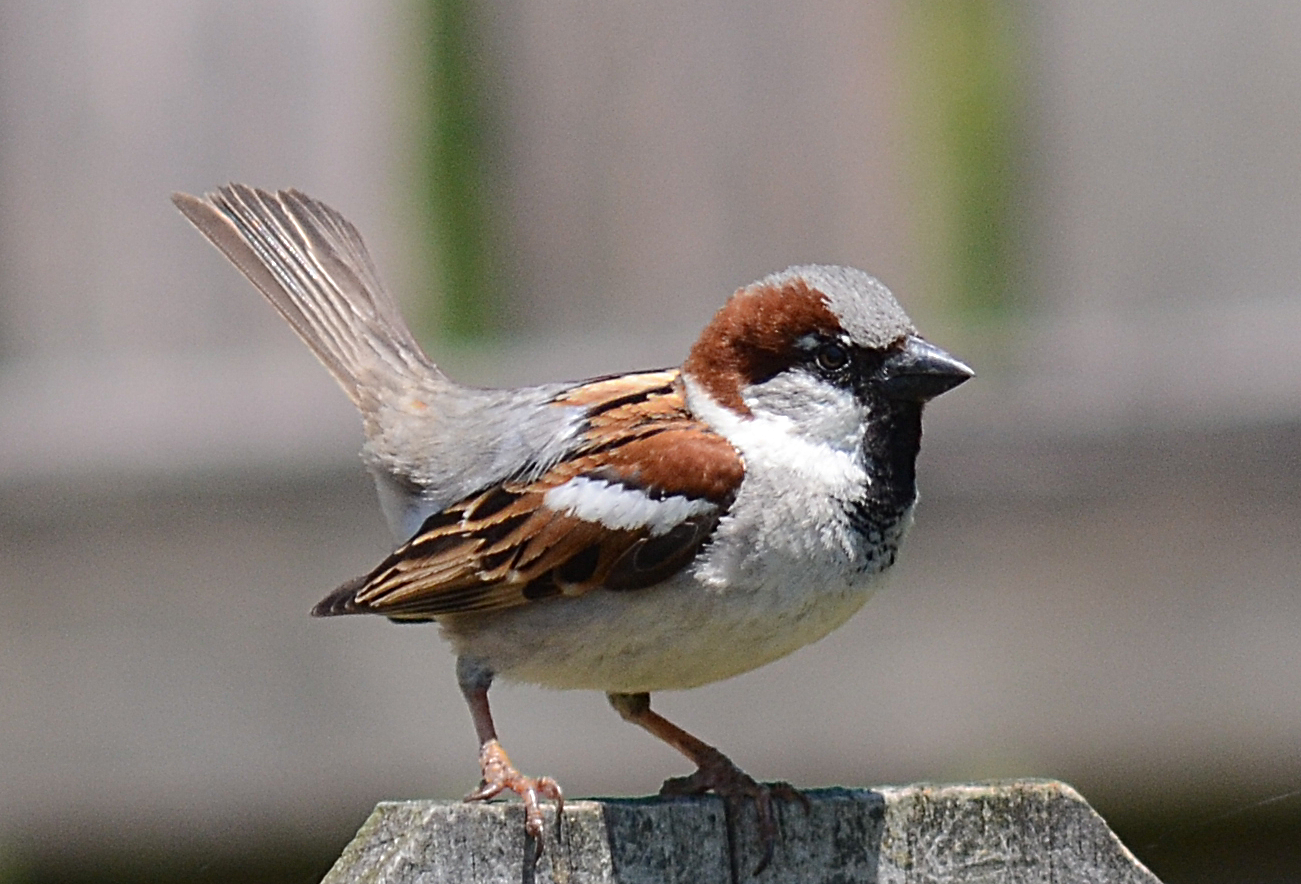 House Sparrows' Dance ...