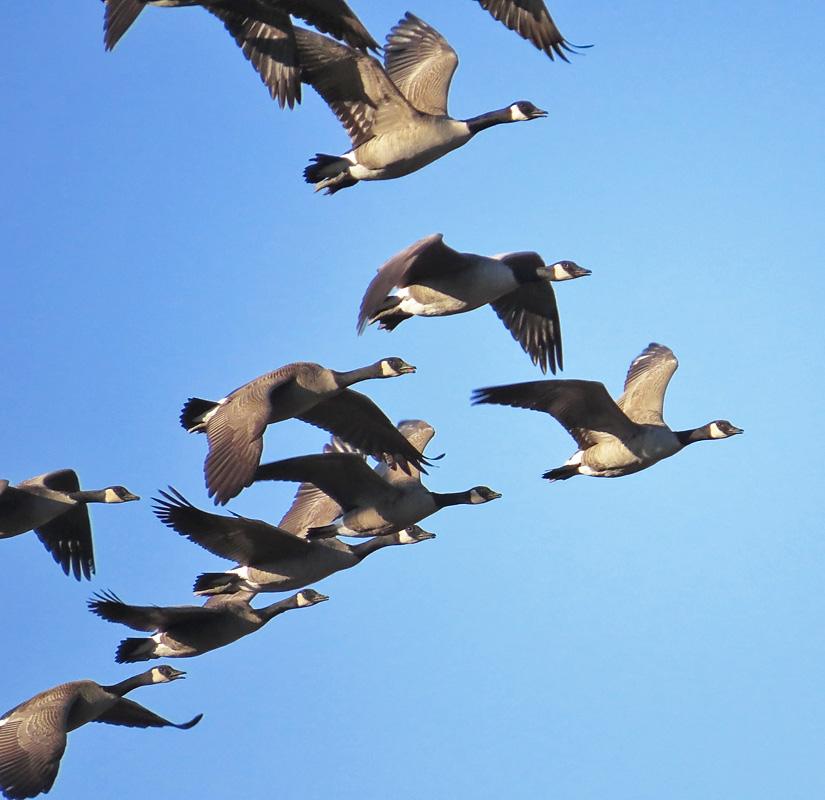 canada goose bird migration