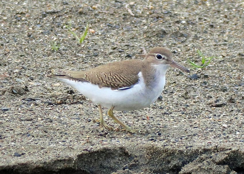 An immature Spotted Sandpiper