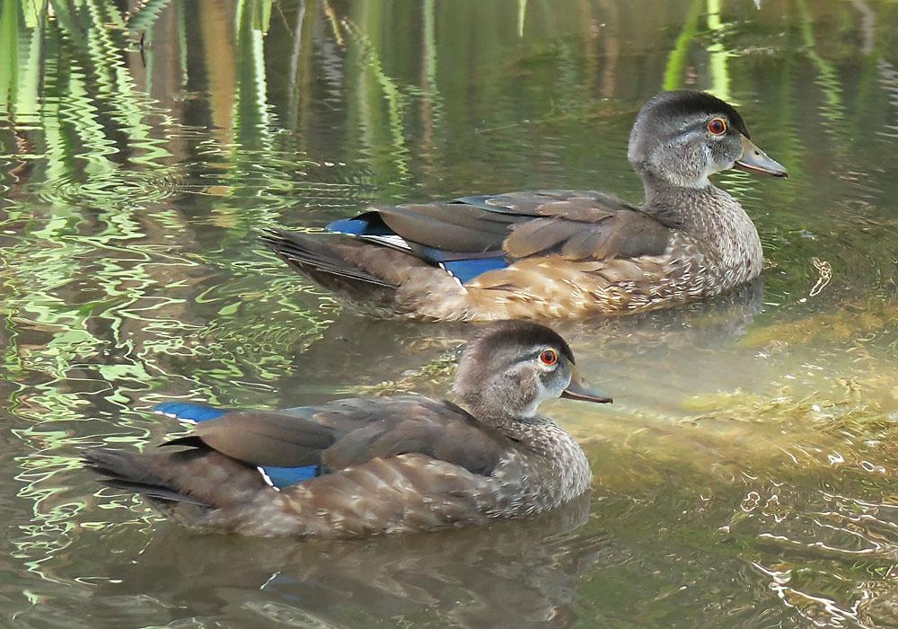 Immature Male Wood Ducks Birdnote