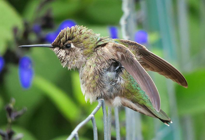 A Female Anna's Hummingbird preening