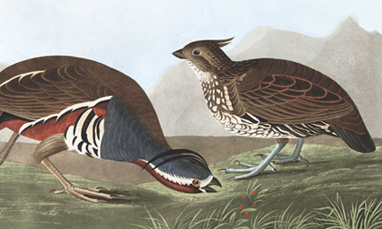 Mountain Quail John James Audubon