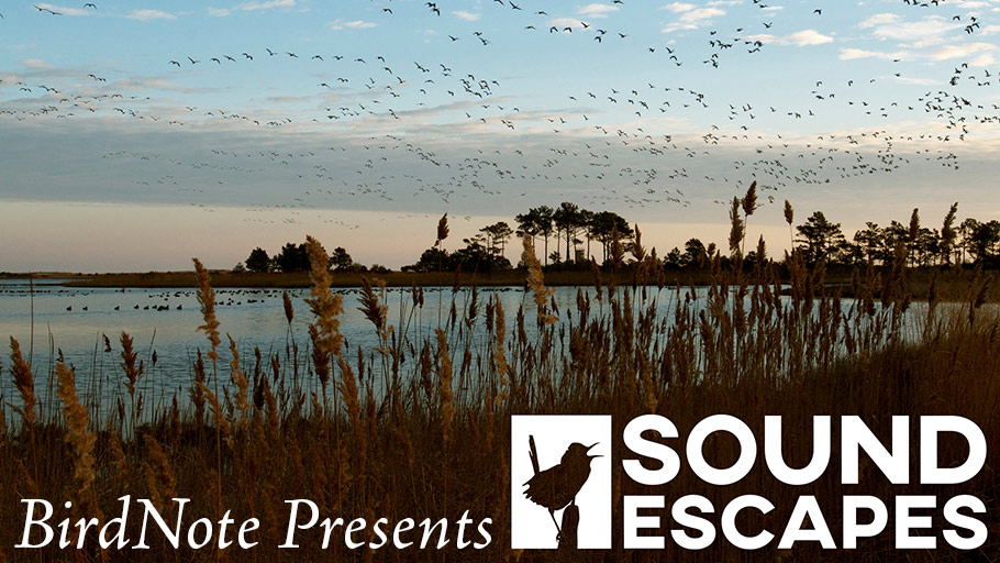 "Birds fly over a marsh with text ""BirdNote Presents: Sound Escapes"" below"
