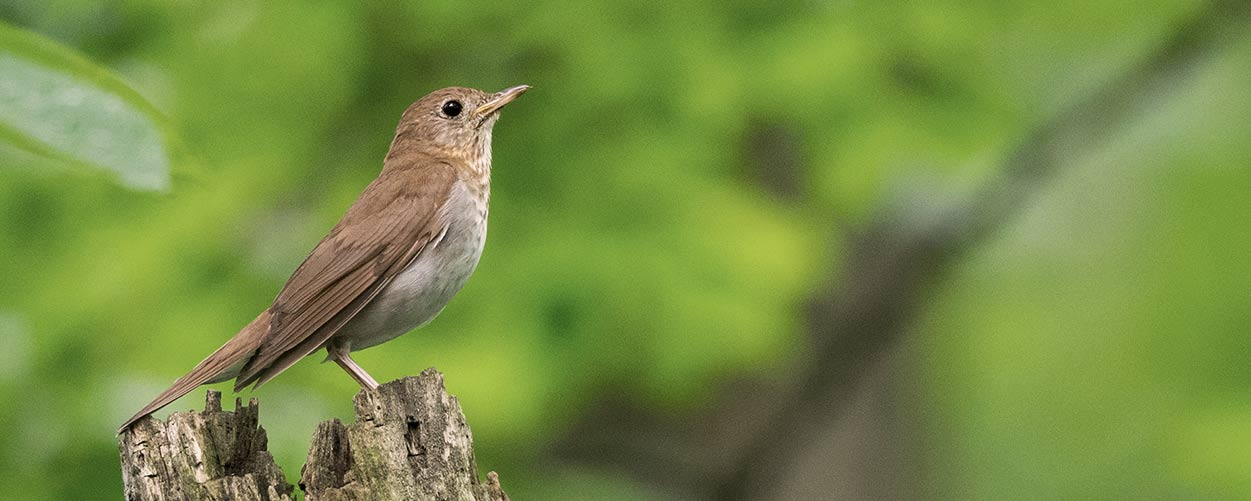 A Veery on a stump