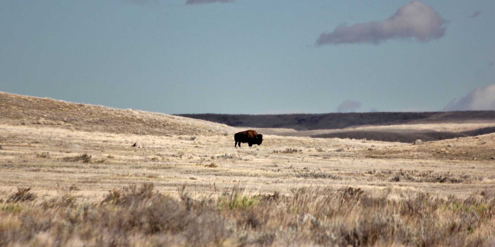 A bison on the grasslands of Saskatchewan