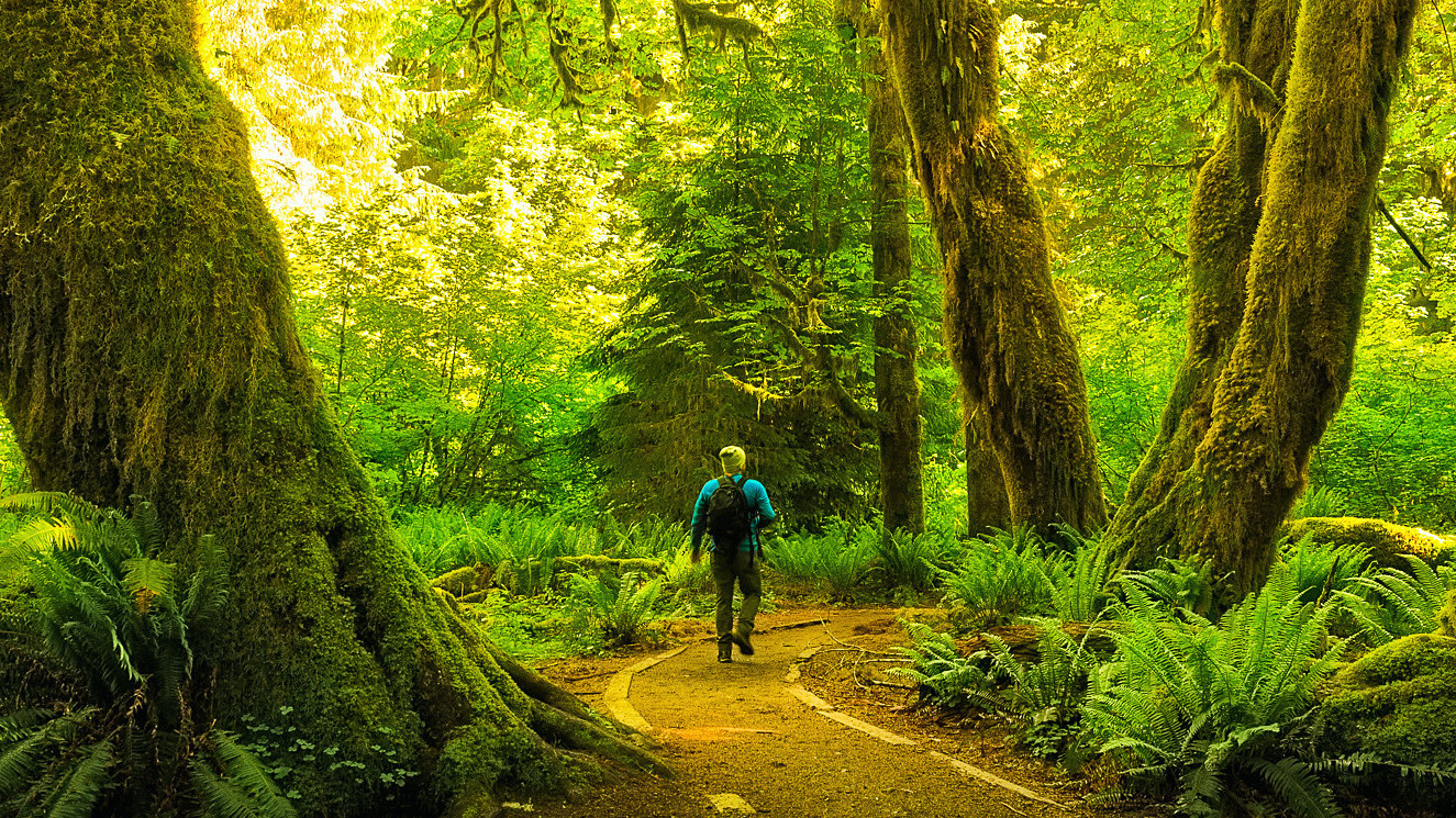 A hiker walks down a trail in the Hoh Rainforest in Olympic National Park.