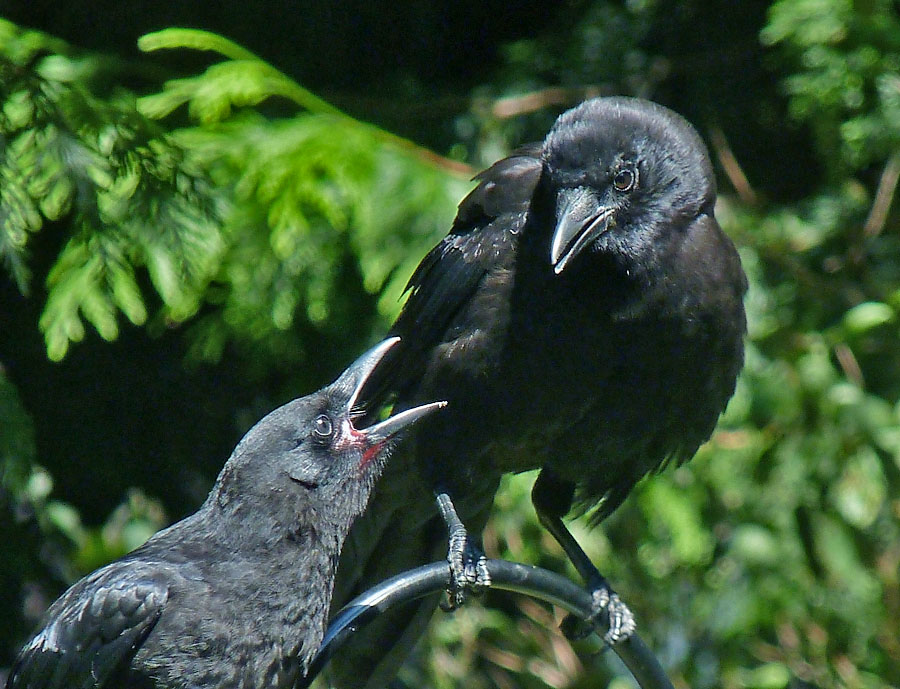 Adult & juvenile Crow
