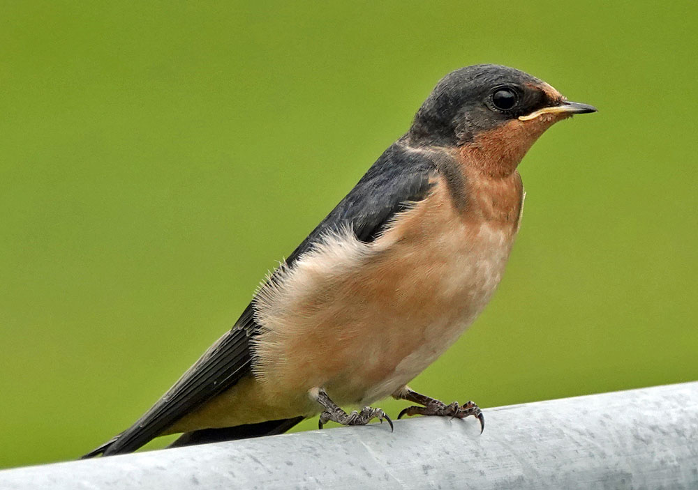Juvenile Barn Swallow