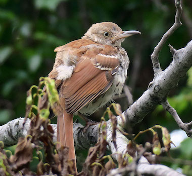 juvenile Brown Thrasher