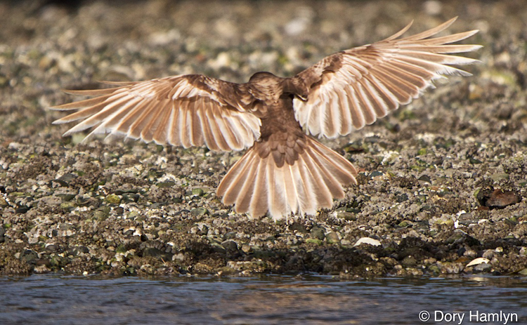 American Crow leucistic flight leucism