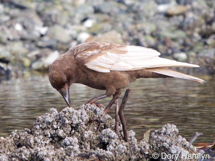 American Crow leucistic foraging leucism