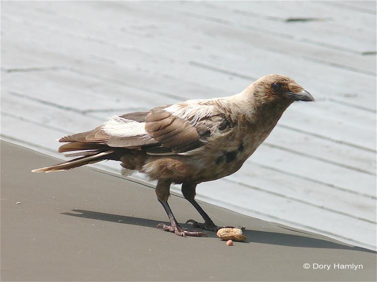 American Crow leucistic with peanut leucism