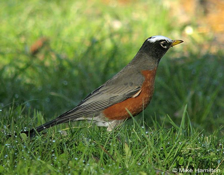 American Robin leucistic - head leucism