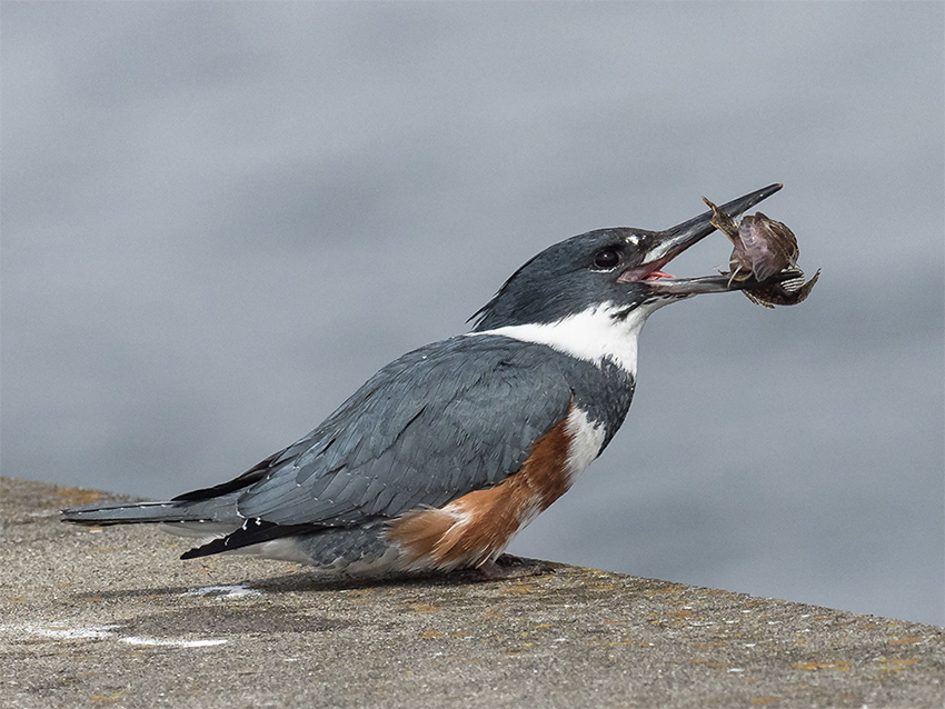 Belted Kingfisher eating a Tidepool Sculpin