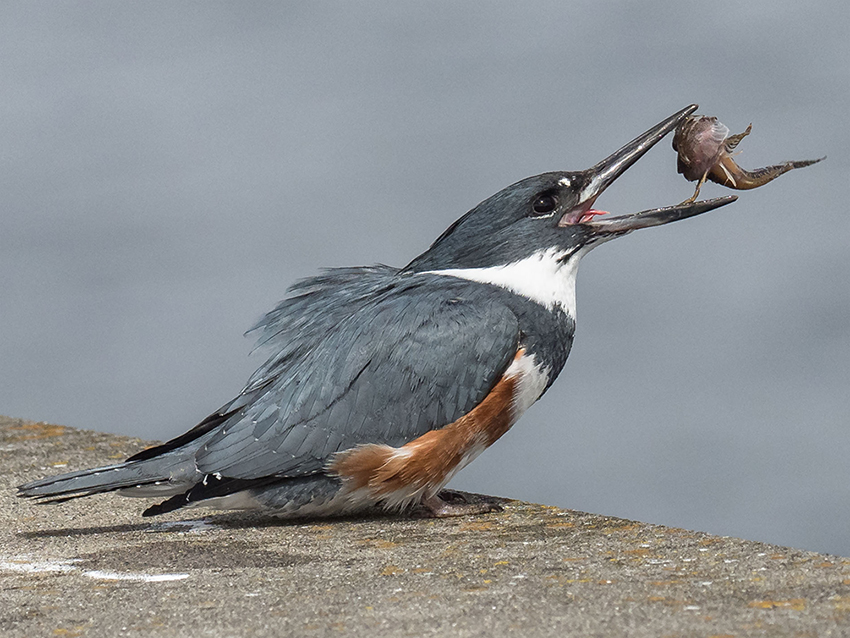 A Belted Kingfisher at Edmonds Marina in Washington State, eating a small fish