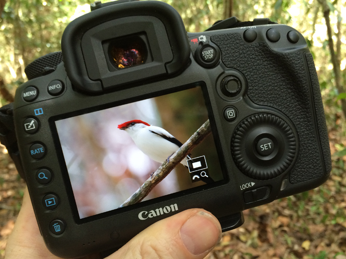 Photographer and sound recordist Gerrit Vyn traveled to a remote Brazilian hillside to document the critically endangered Araripe Manakin.