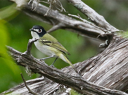 Black-capped Vireo in Texas Hill Country