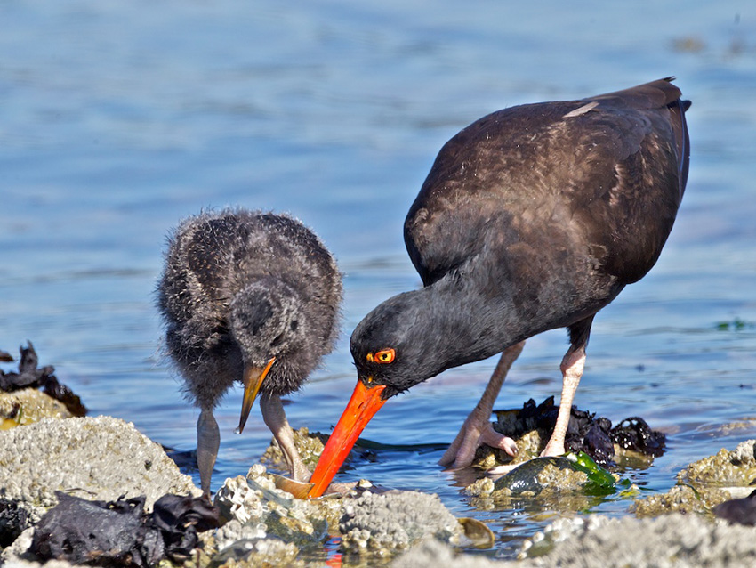 Black Oystercatcher and chick feeding at shoreline