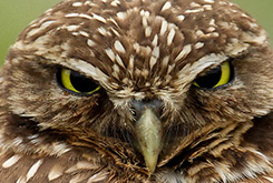 Burrowing Owl - click to see in the BirdNote photo gallery