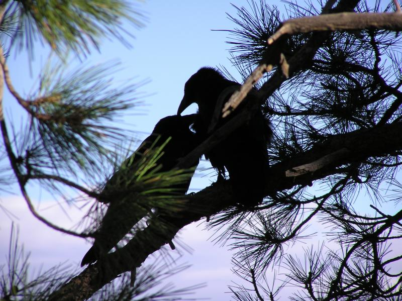 The Crows' Night Roost | BirdNote