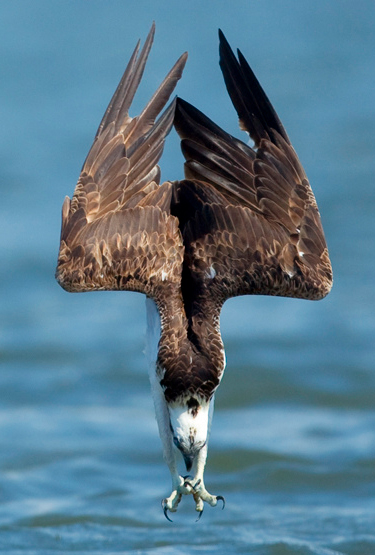 What Is a Seahawk? | BirdNote