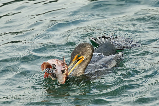 Double-crested Cormorant has caught a rockfish