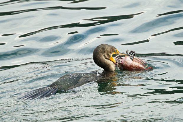 At the fishing pier in Edmonds, a Double-crested Cormorant has caught a sculpin