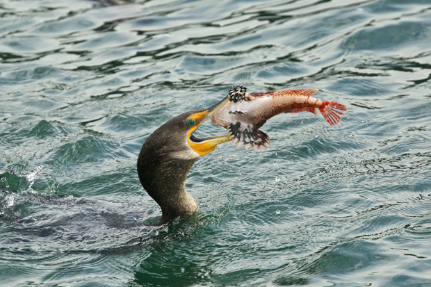 A sculpin gets flipped in the air by a Double-crested Cormorant