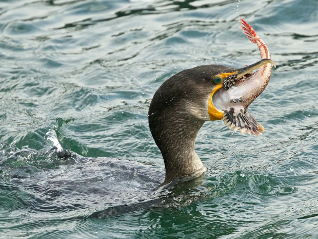 Double-crested Cormorant swallowing a fish photographed in Edmonds, Washington