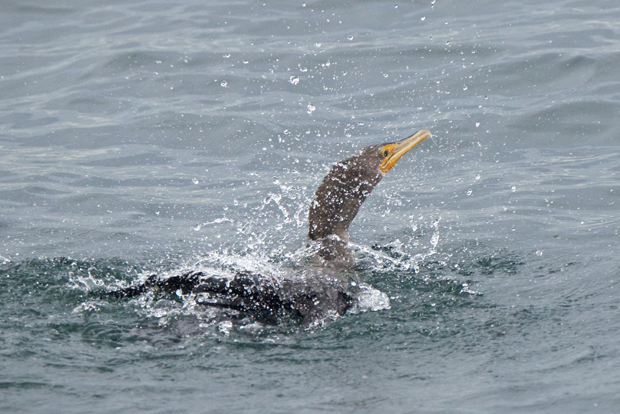 A quick bath after lunch for a Double-crested Cormorant