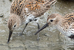 Dunlins foraging at the waterline