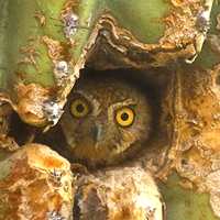 Elf Owl Big Bend