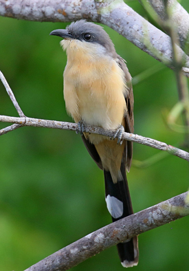 Galapagos Cuckoo