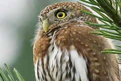 A Northern Pygmy-Owl