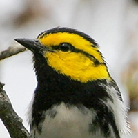 Golden-cheeked Warbler in Texas Hill Country