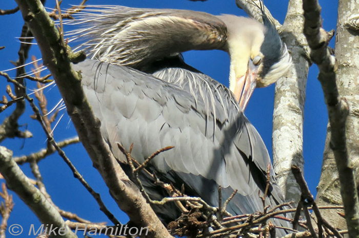 Great Blue Heron nictitating membrane preen preening