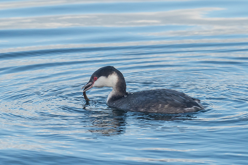 Horned Grebe catching a Bay Pipefish in Puget Sound waters