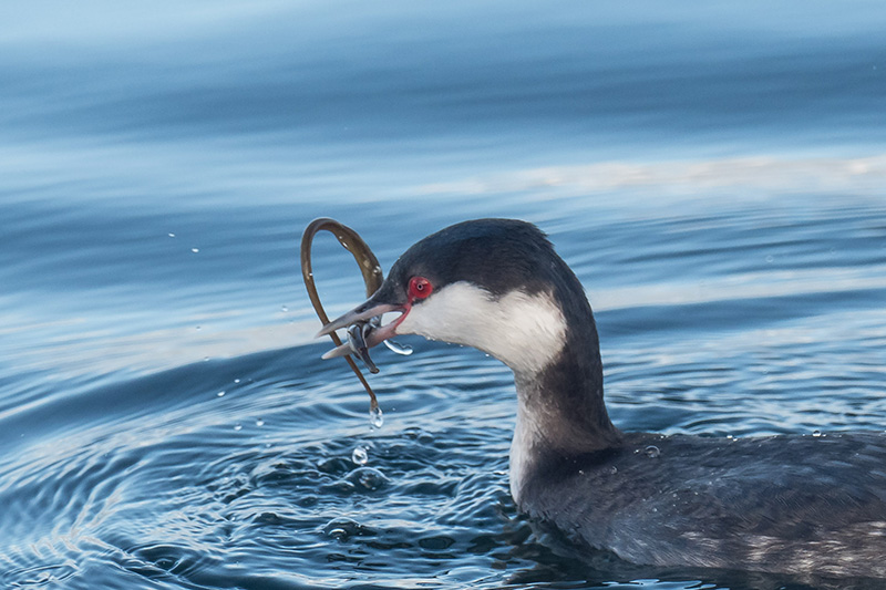 A Bay Pipefish becomes a snack for a Horned Grebe